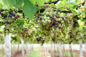 Grapes 1 - green