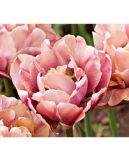 White Flower Farm Tulip - BHG.com