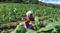 Woman checks maize crops - mg.co.za
